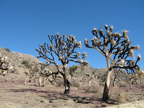 Joshua trees (Yucca brevifolia) after Covington Fire | by Joshua Tree National Park