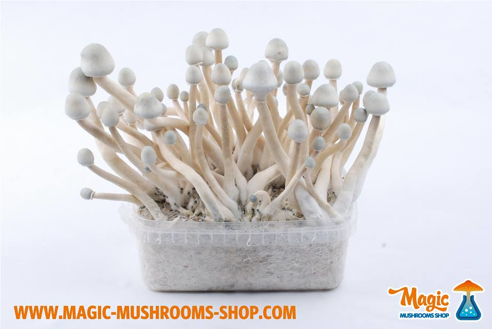 A+ Albino shroom kit | Magic mushroom Psilocybe Cubensis gro