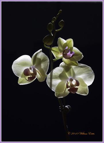 lighting flowers light plants orchid nature canon background orchidaceae delicate tone subtle