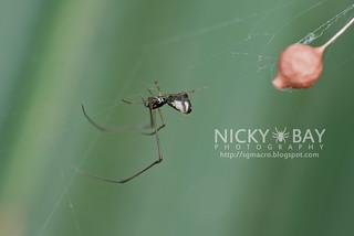 Comb Footed Spider (cf. Argyrodes sp.) - DSC_1855