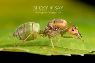 Ant (Oecophylla smaragdina) - DSC_9504