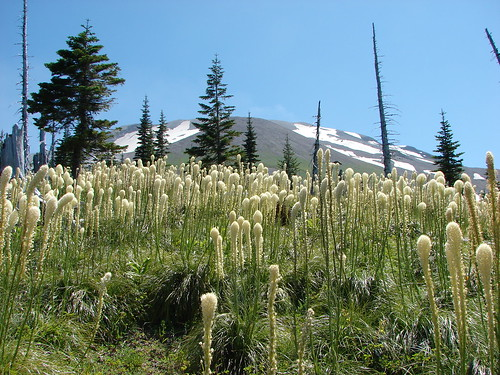 Mt. St. Helens from a beargrass meadow along the Loowit Trail