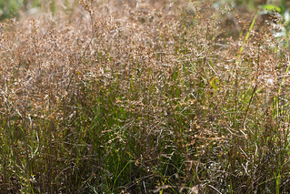 Juncus diffusissimus | by dogtooth77
