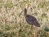 PL1D2332 Black Ibis (Pseudibis papillosa), Tadoba N P, Maharashtra, India 21 Feb 2013 by Lathers