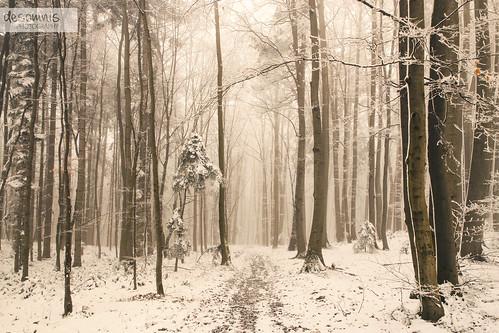 foggy winter forest | by desomnis