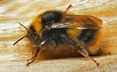 Early Bumble Bee (Bombus pratorum) queen | by Martin Cooper Ipswich