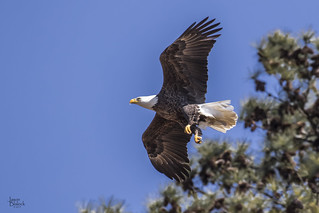 Berry Bald Eagle Male 3 | by Jason Blalock
