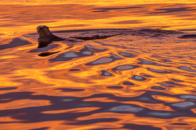 Otter in the sunset