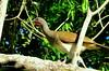 """Chachalaca vientre blanco """"Ortalis leucogastra"""" by Erick Manuel Hernandez /Observador de Aves de El S"""