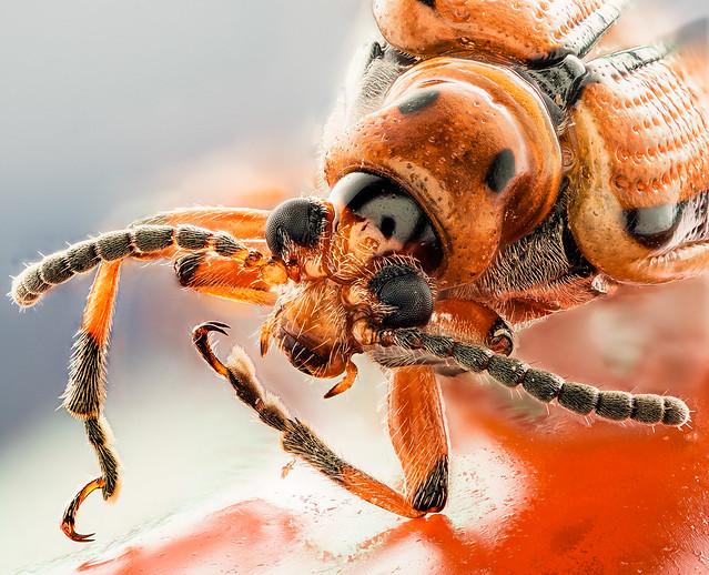 Potato Beetle 20150214-qv2.5xN100-brown-3-linedpotato-beetle-ret-ps-2000px