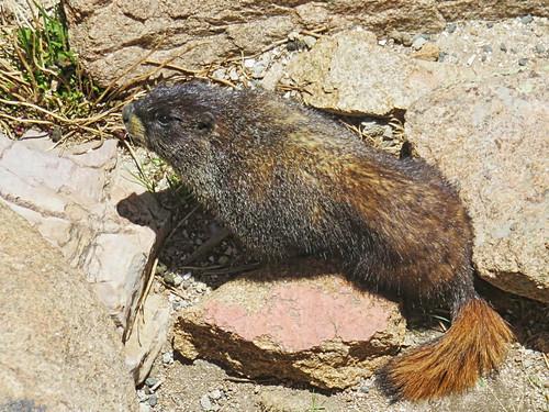Hoary Marmot 5-20160615