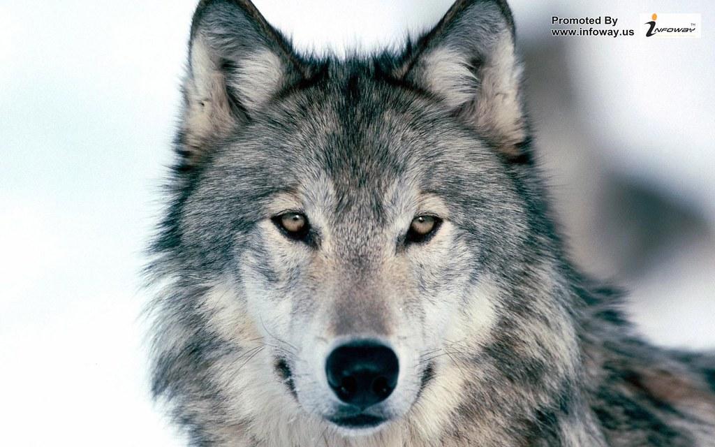 Hd Wallpapers Wolf Wallpaper Hd Wallpapers Wolf Wallpaper