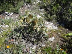 Cotyledon orbiculata in habitat