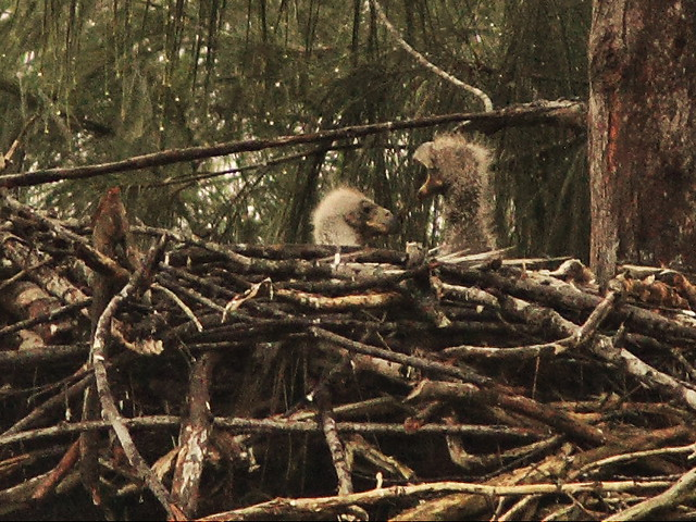 Bald Eagle chicks P Piney 13 and 12  interact 2-20140131