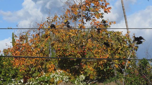 IMG_8832 crows in persimmon goleta