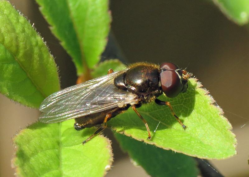 Cheilosia pagana (probable)