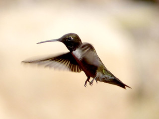 Black-chinned Hummingbird. Archilochus alexandri. Male | by gailhampshire