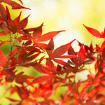 Acer amoenum Carr. var. sanguineum Nakai