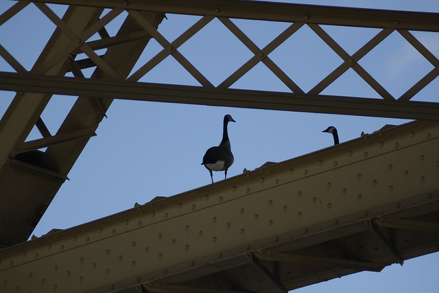 Goose roost