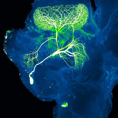 Neuron   by NICHD NIH