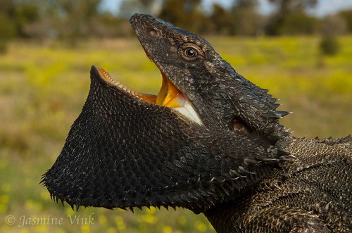 Eastern bearded dragon (Pogona barbata) | by jasmine_vink