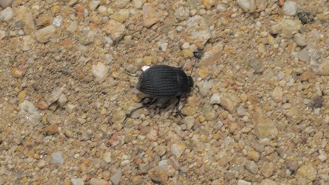 Beetle, Sabino Canyon