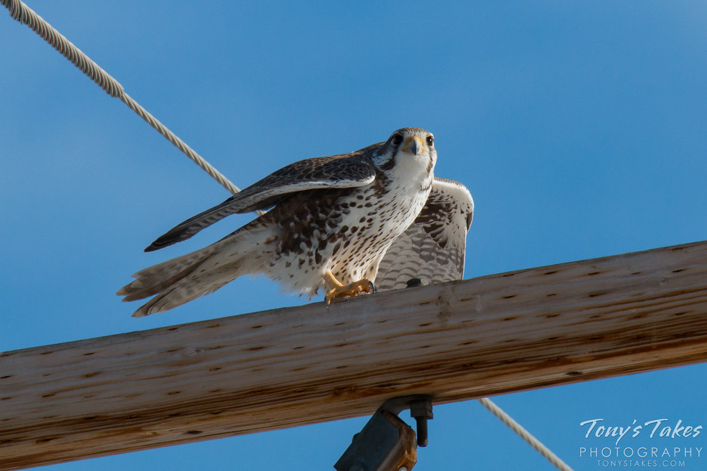 A Prairie Falcon keeps watch and gets ready to launch. (© Tony's Takes)