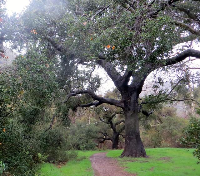 california live oaks