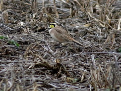 Horned Lark, Mercer Co., 2/11/2017