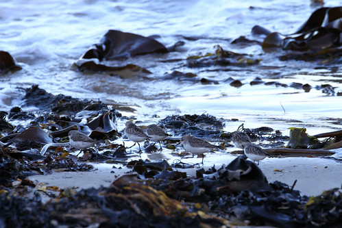 waders 152 australianbirds bastionpoint redneckedstint calidrisruficollis mallacootavic