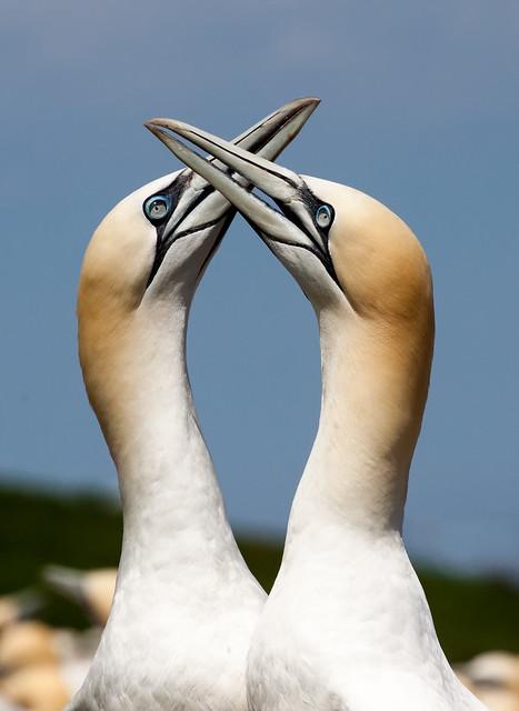 Bonding Gannets