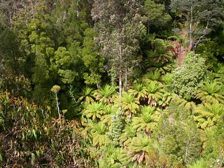 063 tree ferns (Dicksonia antarctica) in a deep gully, sclerophyll rain forest, Warra LTER, Tasmania