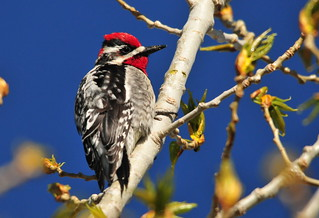 Red-naped Sapsucker on Seedskadee National Wildlife Refuge | by USFWS Mountain Prairie