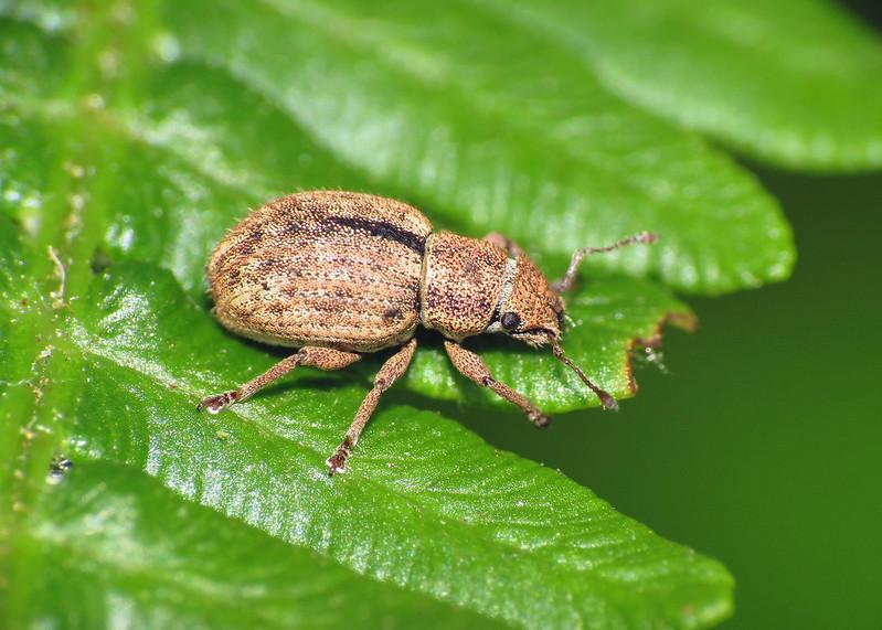 Weevil - Strophosoma melanogrammum