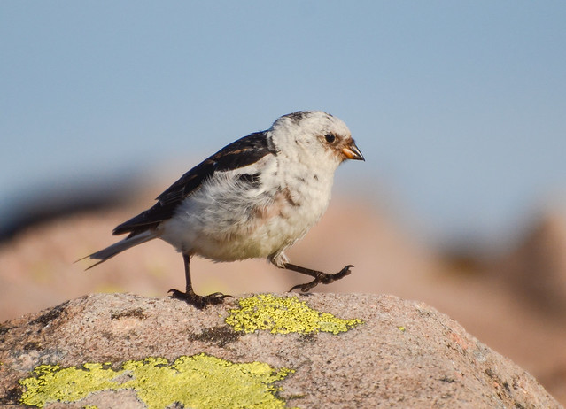 Snow Bunting (from the Ministry of Silly Walks...)
