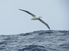 Wandering Albatross, Cape Town Pelagic, 240813 by 1760up