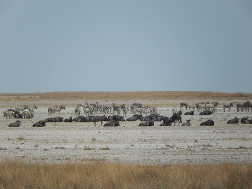 Etosha NP - wildebeesten en zebras