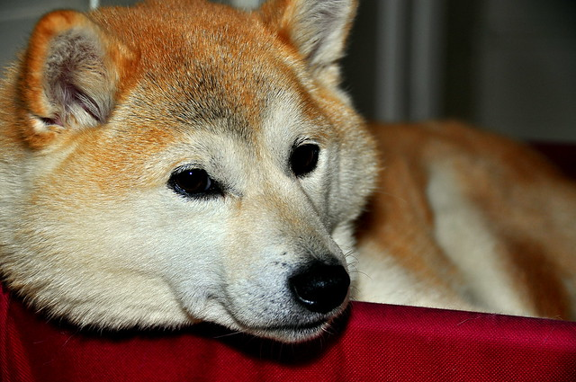 The sleepy Shiba Inu