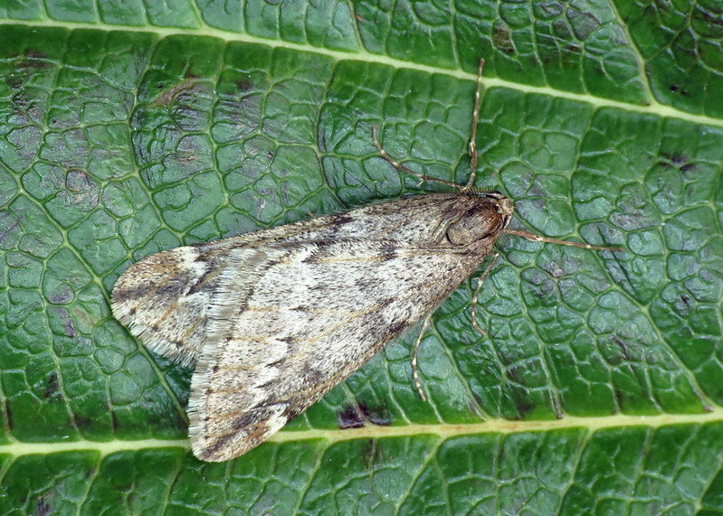 1663 March Moth - Alsophila aescularia