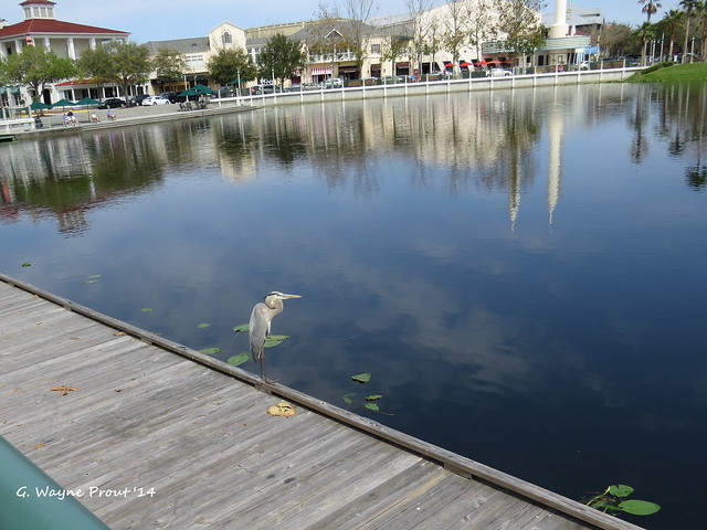 Great Blue Heron (Ardea herodias) on the dock at Lake Rianhard