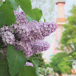 Lilac in Ōdōri Park / 大通公園のライラック