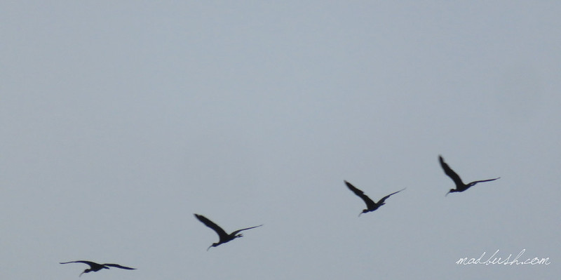 Glossy Ibis (Plegadis falcinellus) in Fairy Hills