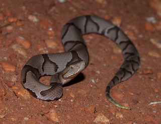 Copperhead | by adamcooner