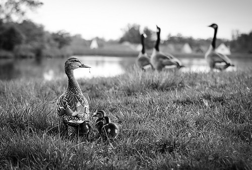black bird nature birds canon eos blackwhite duck ducks 6d lintu sorsa linnut musta sorsat mustavalkoinen valkoinen ef135f2l kivetonrock