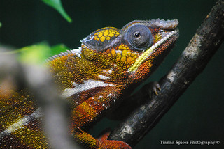 Chameleon | by tiannaspicer