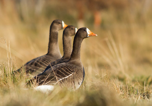 Blesgæs - White-fronted Goose - Anser albifrons | by Baddi89
