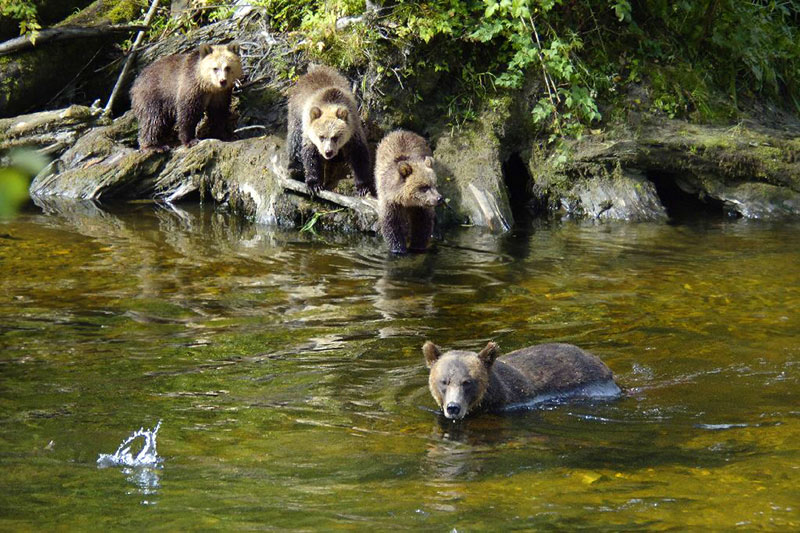 Mother Grizzly Bear and Cubs in Knight Inlet, British Columbia, Canada. Photo Grizzly Bear Lodge & Safari: www.grizzly-bear-watching.com