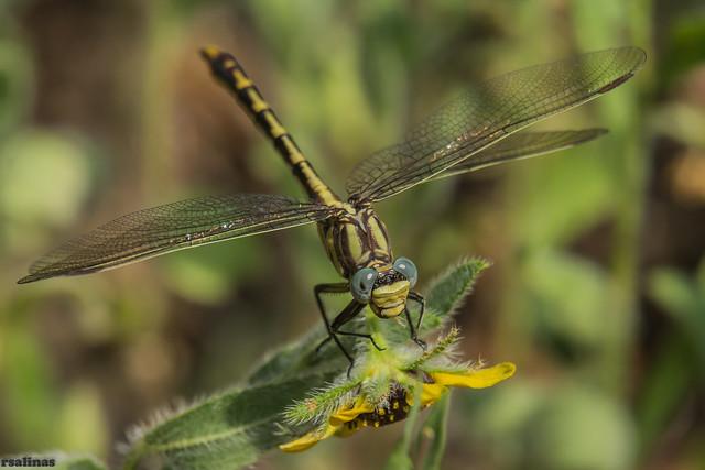 sulphur-tipped clubtail (explored 5/9/2014)