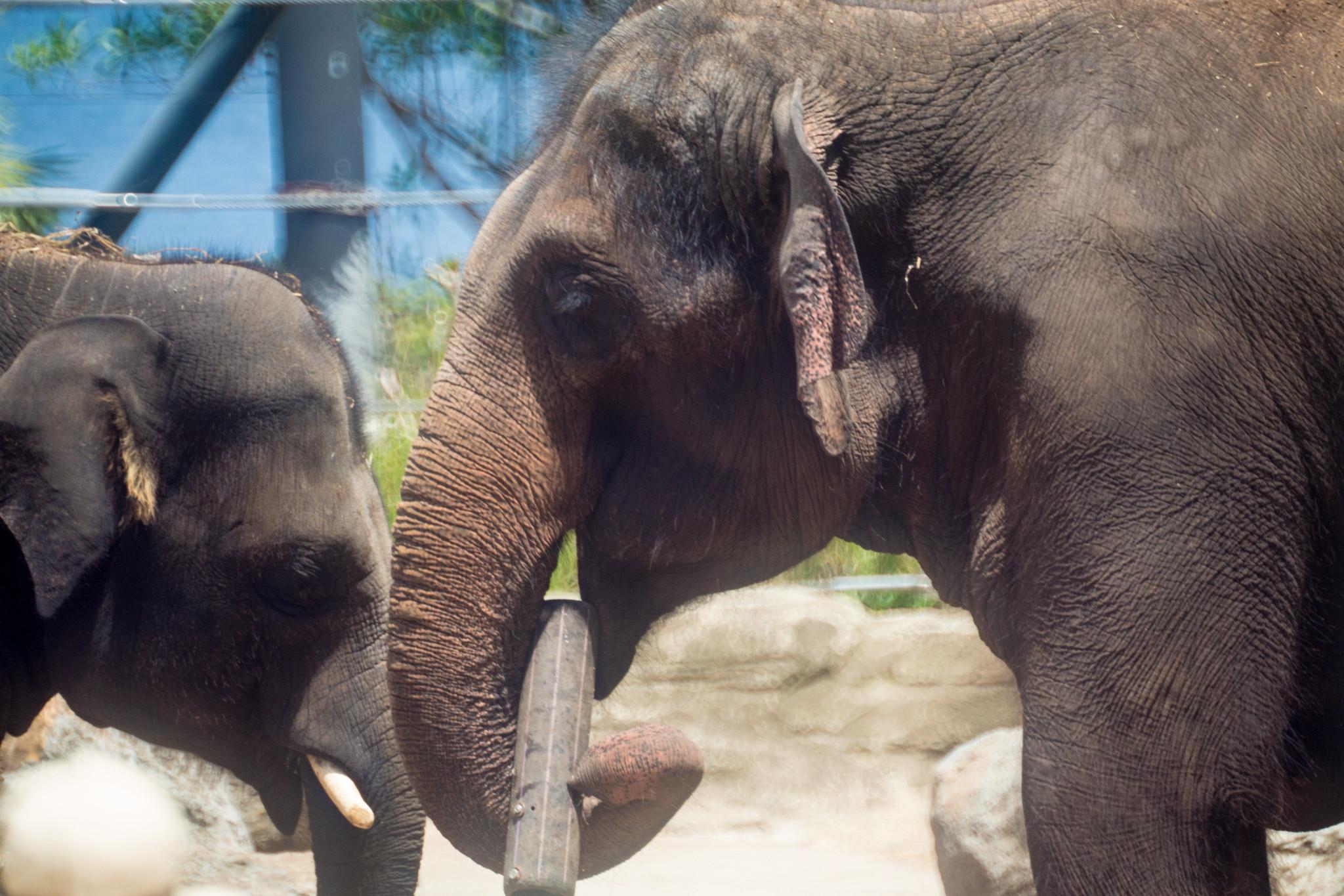 Asian Elephants Play