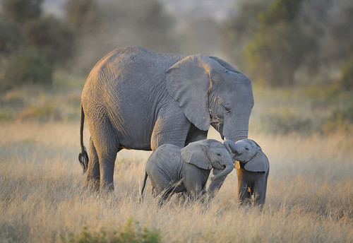Mother elephant with twins in Amboseli National Park, Kenya, East Africa | by diana_robinson